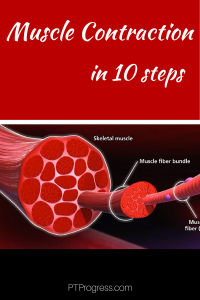 Muscle Contraction Steps: A Review